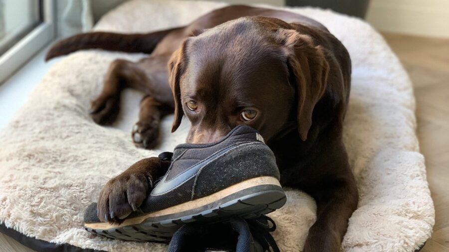 Why Does My Dog Cuddle My Shoes?